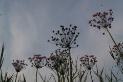 Zwanenbloemen